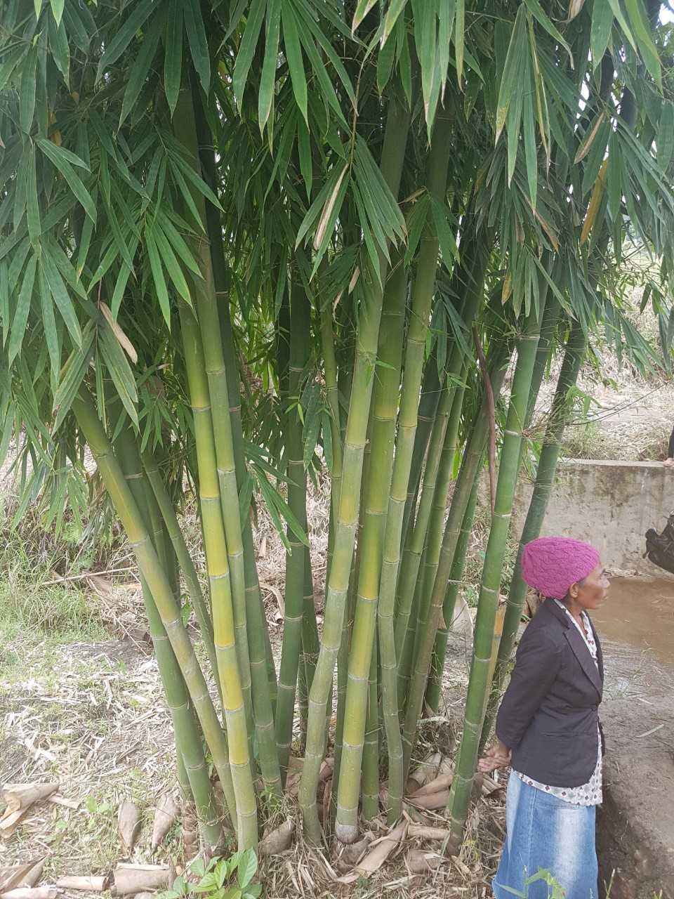 Bamboo: untapped ''green gold'' of Timor-Leste